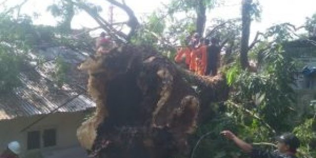 Diduga Lapuk, Pohon Ambon Berusia Ratusan Tahun Ambruk